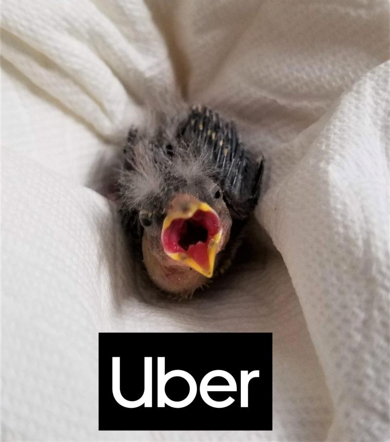 The baby bird that arrived by Uber. Source: Wildlife Rehabilitation Center of Northern Utah