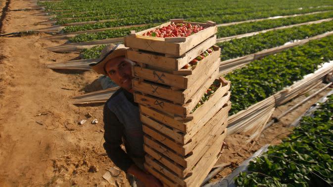 Para petani memetik stroberi di sebuah kebun, Beit Lahyia, Jalur Gaza, Selasa (3/12/2019). Sejak beberapa tahun lalu petani Gaza sudah bisa mengekspor stroberi mereka ke Eropa. (AP Photo/Hatem Moussa)