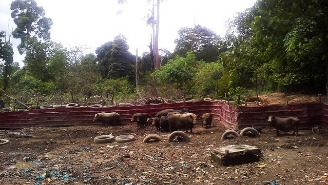 Peternakan babi di area sekitar Waduk Duriangkang, Batam, Kepri, segera ditertibkan. (Liputan6.com/Ajang Nurdin)