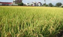 桃竹苗1.3萬公頃水稻停灌 陳吉仲:每公頃補助14萬元