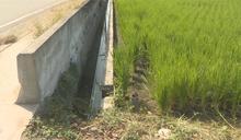 桃竹苗二期稻作停灌 農委會將發補償金