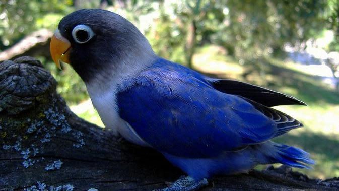 Lovebird violet (Sumber