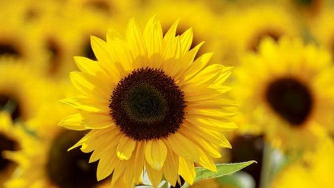 Ilustrasi bunga matahari./Copyright pexels.com/@suju