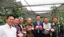 台灣最美茶花在新竹市 16日茶花季繽紛登場