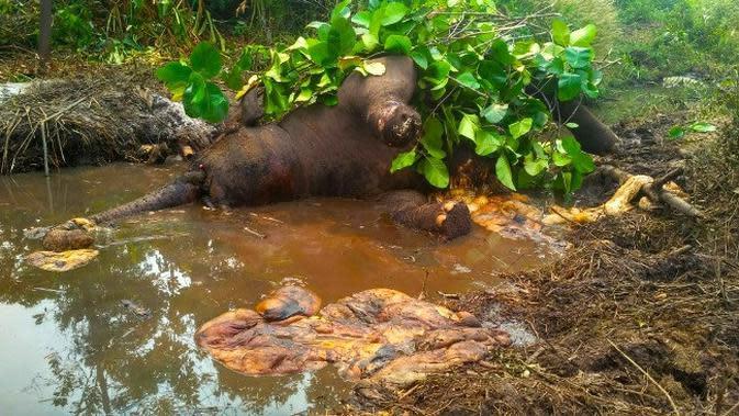 Gajah mati yang ditemukan dua bulan lalu di Kabupaten Bengkalis karena luka membusuk di kakinya. (Liputan6.com/M Syukur)