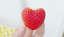 有「心」的草莓 日本新品種吸睛又甜美多汁