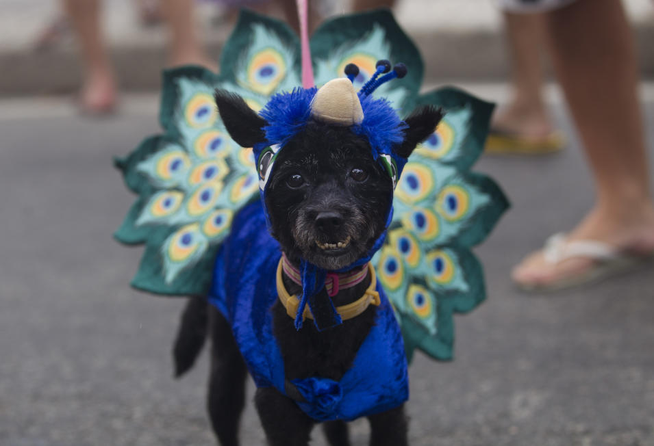 """A disguised dog is seen during the """"Blocao"""" dog carnival parade in Rio de Janeiro, Brazil, Sunday, Feb. 3, 2013. According to Rio's tourism office, Rio's street Carnival this year will consist of 492 block parties, attended by an estimated five million Carnival enthusiasts. (AP Photo/Silvia Izquierdo)"""