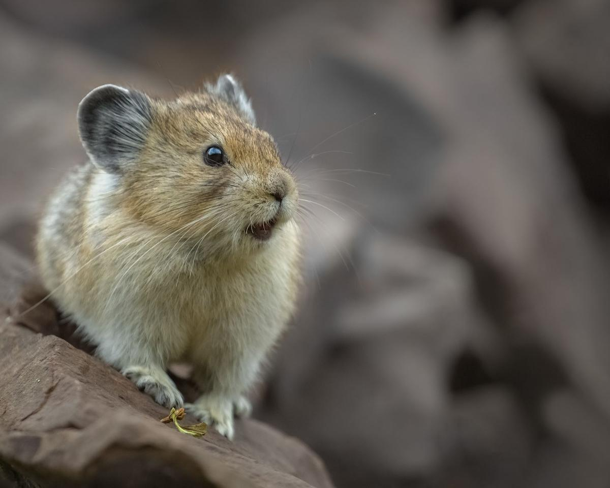 """<p>Don't let that adorable little face fool you! According to the National Wildlife Foundation, this is<a href=""""https://www.nwf.org/Educational-Resources/Wildlife-Guide/Mammals/American-Pika"""" target=""""_blank""""> one of the toughest animals in North America</a>. These rodent like mammals grow to about seven or eight inches and survive in a challenging alpine terrain. </p>"""