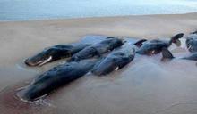 20年最大規模!270頭鯨魚擱淺澳洲海灣「已25頭喪命」 當局展開救援