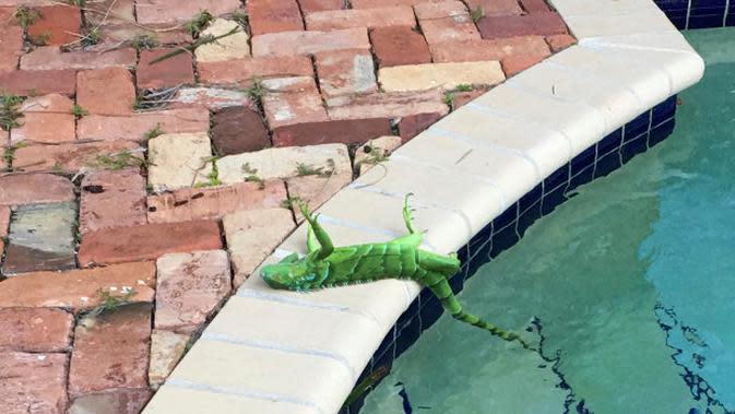 Sebuah iguana yang membeku terletak di dekat kolam setelah jatuh dari pohon di Boca Raton, Florida, Kamis, 4 Januari 2018. (source: AP Photo)