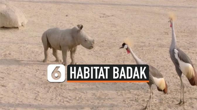 VIDEO: 2 Badak Putih Selatan Jelajahi Habitat Asli Mereka