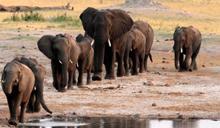 辛巴威乾旱藍藻孳生 大量大象暴斃