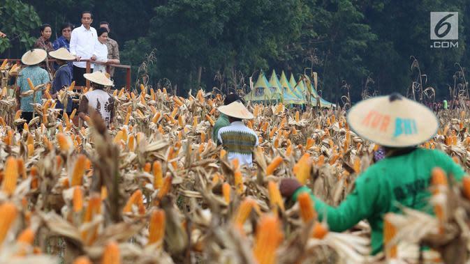 Presiden Joko Widodo (Jokowi) menghadiri panen raya jagung di Perhutanan Sosial, Ngimbang, Tuban, Jumat (9/3). Jokowi didampingi Ibu Negara Iriana, Menteri LHK Siti Nurbaya Bakar, dan Menteri BUMN Rini Soemarno. (Liputan6.com/Angga Yuniar)