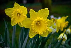 Ode To Daffodils