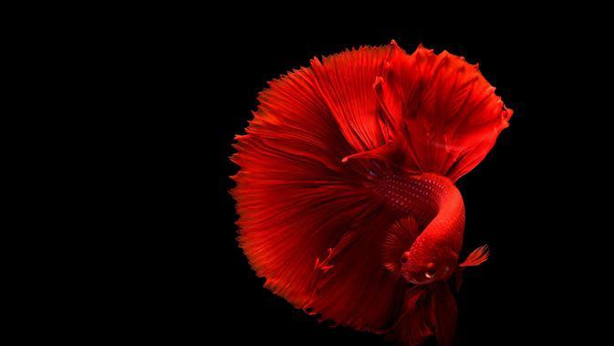 Ilustrasi Gambar Ikan Cupang (sumber: Pixabay)