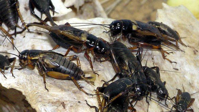 Ilustrasi jangkrik hitam dari famili Gryllus atau true crickets (Wikimedia / Creative Commons)