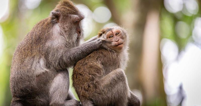 北京研究指出,獼猴染疫28天內產生抗體,短期內不會再度感染。(示意圖/Pixabay)