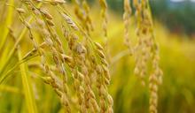 【Yahoo論壇/劉宜君】水稻結穗期卻停灌  豐收秋季唱起輓歌