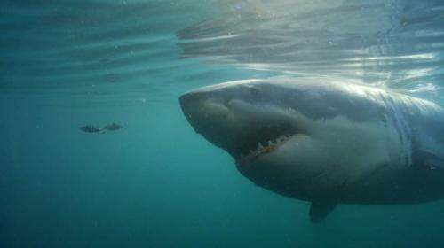Real-Life 'Return of Jaws' May Be Scarier Than Fiction