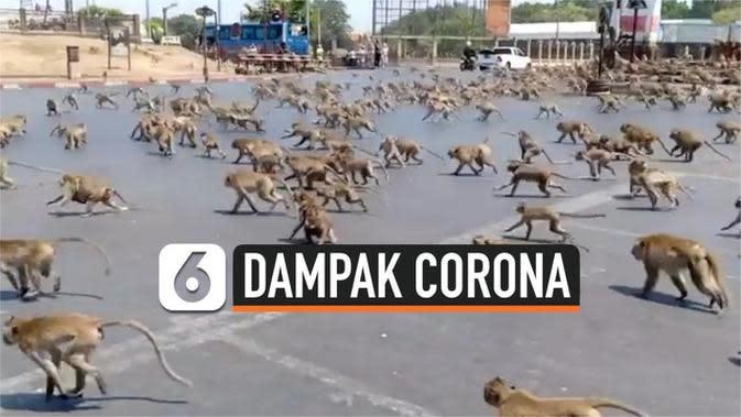 VIDEO: Terdampak Corona, Ratusan Monyet Liar Berebut Makanan