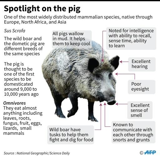 Factfile on pigs, for the new year of the pig starting February 5