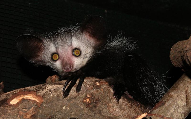 The Aye-aye lemur exists in the wild only on the island of Madagascar