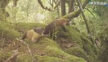 黃喉貂愛趴趴走 活動範圍勝台灣黑熊