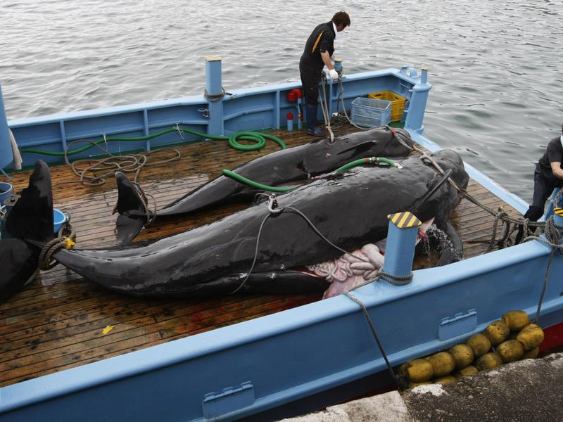 日本重啟捕鯨 塞鯨恐絕種
