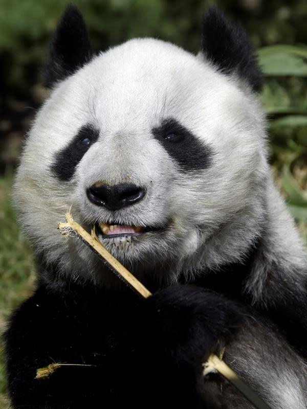 Shuan Shuan, panda raksasa wanita (Ailuropoda melanoleuca) memegang tongkat di kebun binatang Chapultepec, Mexico City (12/2/2020). Xin Xin dan Shuan Shuan merupakan dua spesimen Hewan yang lahir di Meksiko dan satu-satunya di dunia yang tidak dimiliki China. (AFP/Alfredo Estrella)