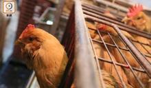 英國爆低致病性H5N2禽流感 香港停進口禽類產品