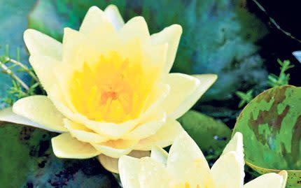 Daffodil yellow - GAP Photos