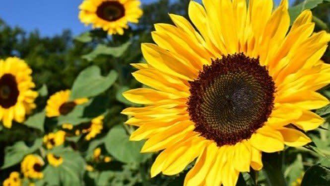 Cara Memanfaatkan Bunga Matahari untuk Obat Asam Urat Alami