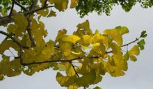 台北後花園Fun鬆一下 楓樹、銀杏、茶梅先「行」綻「美」,再泡好湯