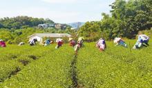 苗加碼茶新植補助 吸引青農返鄉