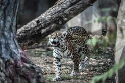 Kebakaran lahan basah di Brasil mengancam cagar alam jaguar