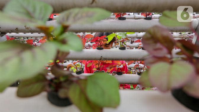 Karyawan menata sayur hidroponik jenis bayam di Serua Farm, Bojongsari, Depok, Jawa Barat, Jumat (26/6/2020). Kebun sayur hidroponik yang memiliki banyak kandungan air, memenuhi permintaan dari beberapa daerah selama pandemi Covid-19. (Liputan6.com/Fery Pradolo)