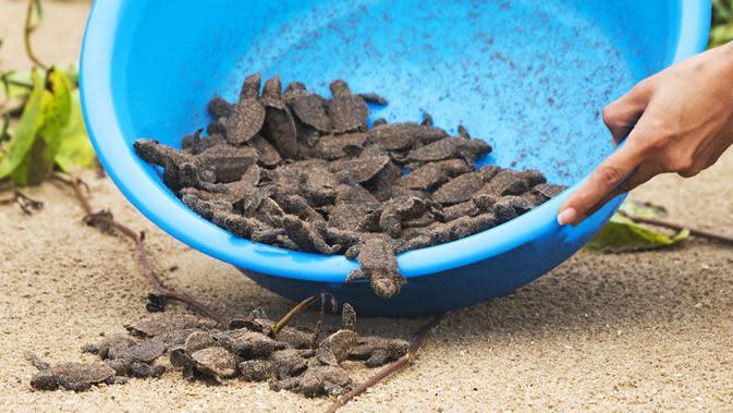 Bayi-bayi penyu sisik yang baru menetas berusaha menuju laut di Marine Park, Sisters' Islands, Singapura, 23 Agustus 2020. Dewan Taman Nasional Singapura resmi mendirikan fasilitas penetasan penyu di Sisters' Islands. (Xinhua/Then Chih Wey)