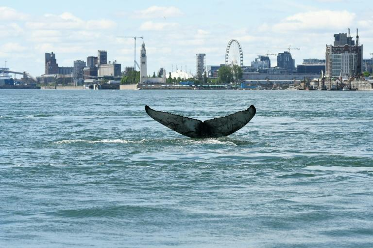 Since Saturday, the humpback has been seen exploring the waters off Montreal, hundreds of kilometres (miles) from the waters it usually calls home
