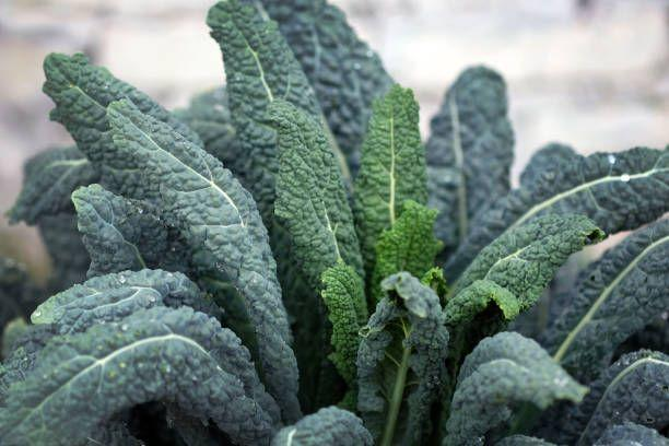 """<p>Kale doesn't mind cold weather, so you'll have enough time to harvest because the crop matures in about 50 days (you also can pick baby kale leaves sooner). If your kale doesn't appear to do much now, don't yank it out; many types overwinter and green back up for an early treat in your garden next spring.</p><p>Varieties to try: Red Russian, Dwarf Siberian</p><p><a class=""""body-btn-link"""" href=""""https://go.redirectingat.com?id=74968X1596630&url=https%3A%2F%2Fwww.burpee.com%2Fvegetables%2Fkale%2Fkale-red-russian-prod000724.html&sref=https%3A%2F%2Fwww.housebeautiful.com%2Flifestyle%2Fgardening%2Fg33645119%2Fwhat-to-plant-in-november%2F"""" target=""""_blank"""">SHOP NOW</a></p>"""