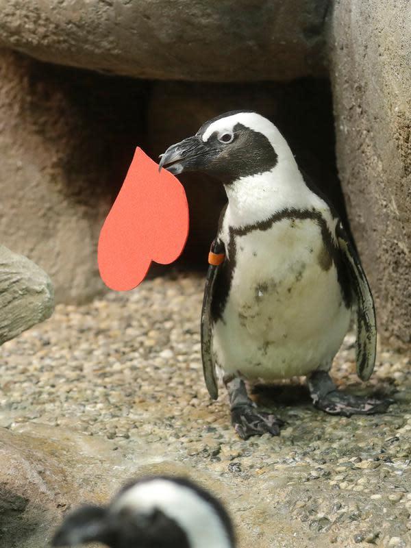Penguin Afrika memegang kartu valentine berbentuk hati di Akademi Ilmu Pengetahuan California, San Francisco, Rabu (12/2/2020). Penguin secara alami membangun sarang menggunakan kartu ucapan dari bahan itu dan menarik lawan jenis untuk meningkatkan populasi mereka yang terancam punah. (AP/Jeff Chiu)