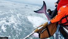 援救擱淺抹香鯨 又一例