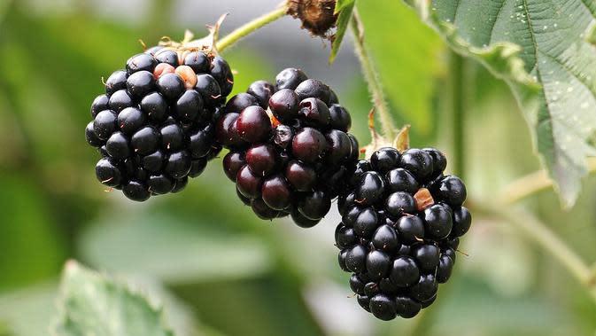 Blackberry / Sumber: Pixabay