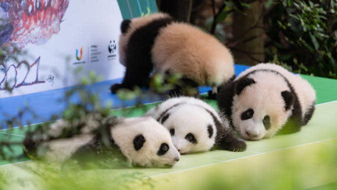 Foto pada 29 September 2020 menunjukkan anak-anak panda raksasa yang tampil perdana di Pusat Penangkaran dan Penelitian Panda Raksasa Chengdu di Provinsi Sichuan, China. Beberapa ekor anak panda raksasa tampil untuk pertama kalinya di depan publik pada Selasa (29/9). (Xinhua/Zhang Kefan)