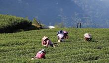 雲林農好慘!乾旱害茂谷柑掉光光 又沒外商買咖啡茶葉