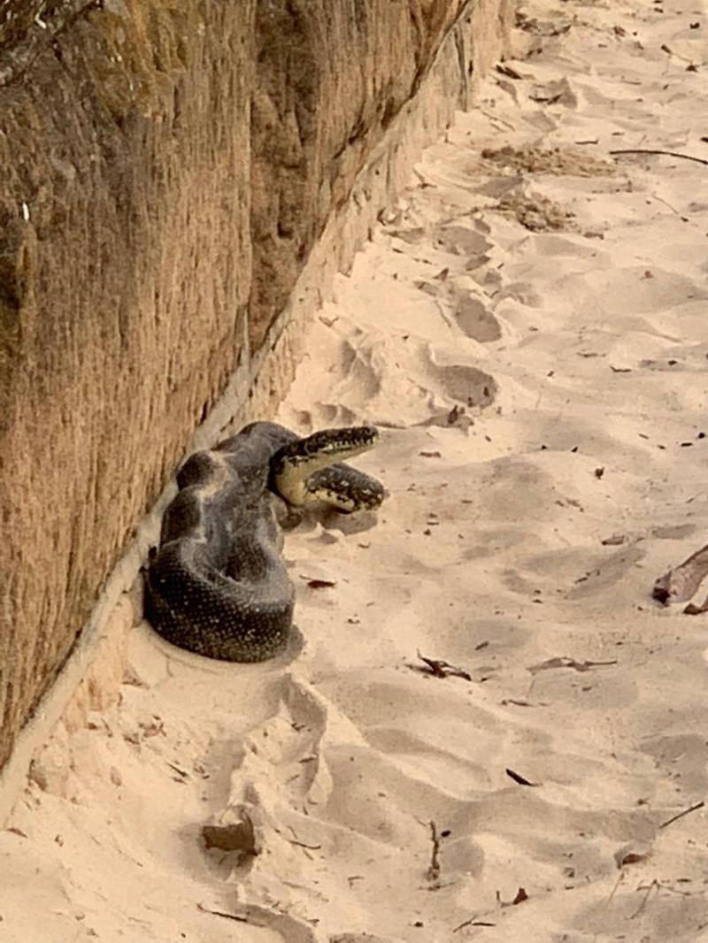 Mosman Council rangers captured the diamond python at Balmoral Beach, Mosman