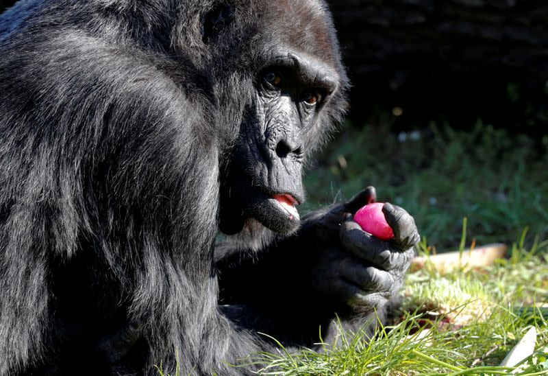 FILE PHOTO: Western lowland gorilla Fatou eats a hard-boiled Easter Egg during a media event at the Zoo in Berlin