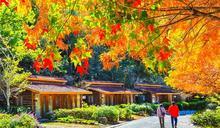 秋意濃 高山農場「楓」情絕美
