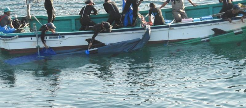 A pilot whale is taken into captivity during the trapping and mass slaughter of a dolphin in Japan