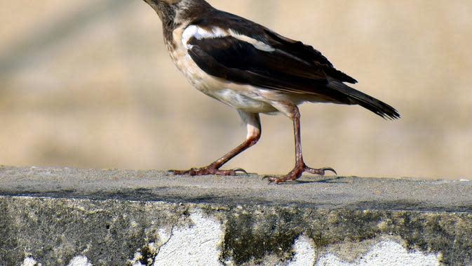 Ilustrasi Burung Jalak Suren / Sumber: Pixabay