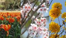 香港都有櫻花同鬱金香花海!初春花季本地賞花景點推介